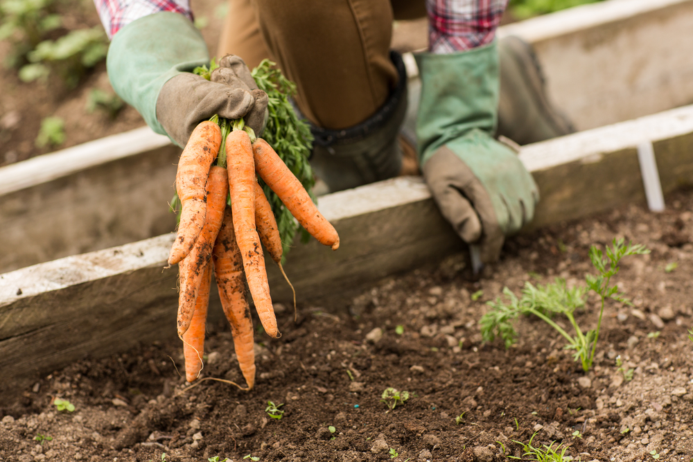 Low FODMAP Vegetables - Carrots