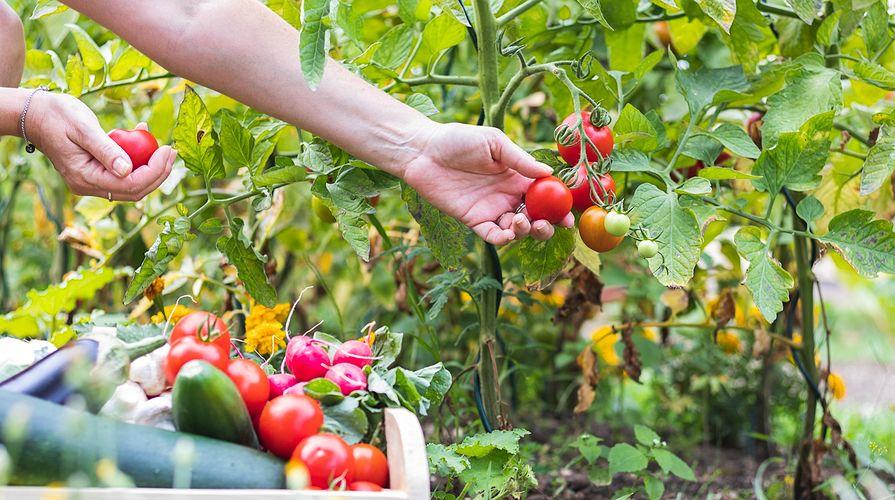 picking-tomatoes-in-garden